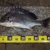 福岡市博多区築港で釣れたでかいキビレ
